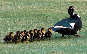 Mother duck leads her ducklings