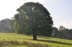 Lone oak tree in a field.
